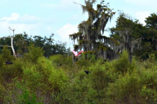 Rosetta SpoonBill in flight peaceriver charters arcadia Florida Airboat Rides-